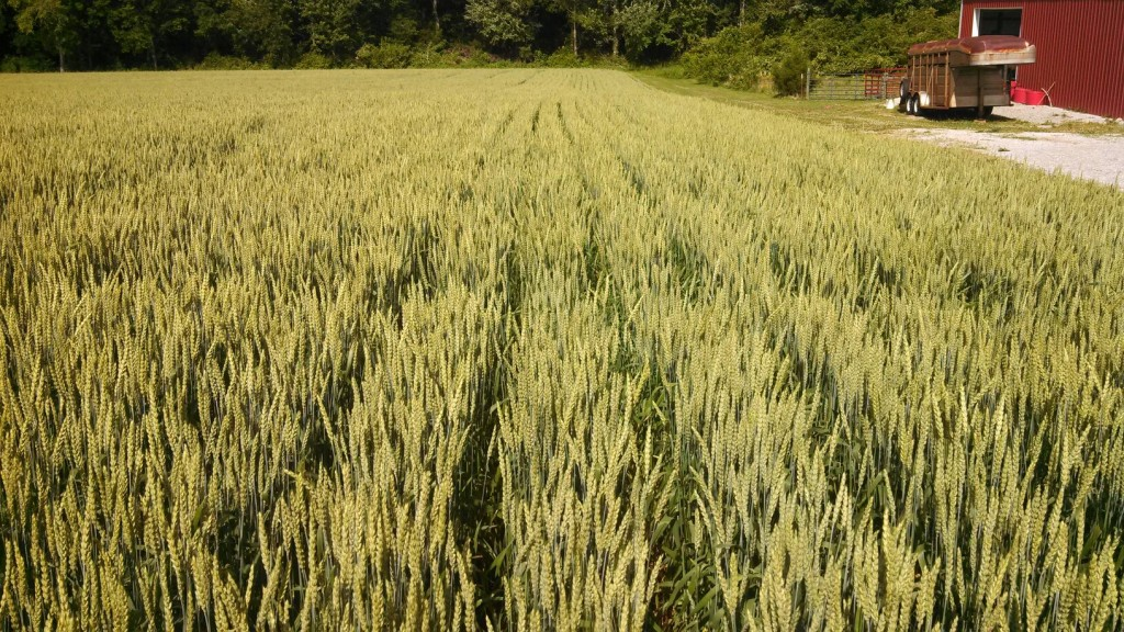 TN Wheat 6-2014